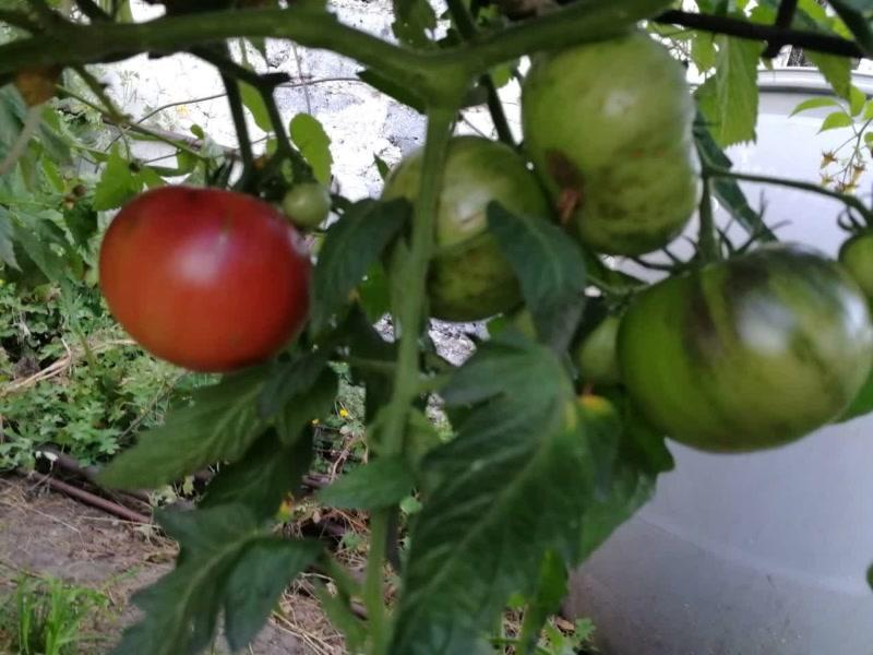 Самый лучший биколор - томат Космическое затмение