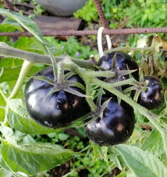 Сорт томата Сталь Дамаска
