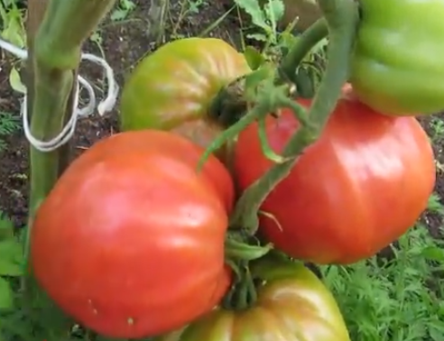 Лучшие сорта томатов, крупноплодные для теплиц - Абаканский
