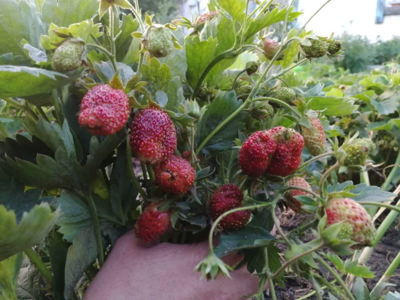 Земклуника Купчиха форма ягод