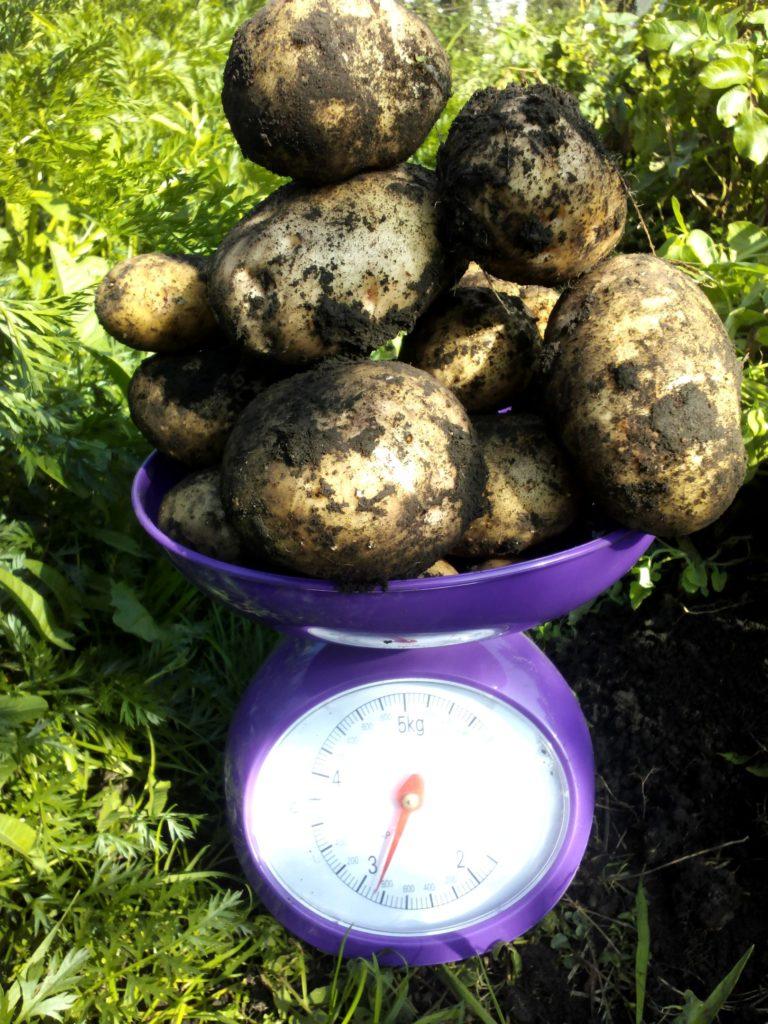 Сорт картофеля Невский, урожай