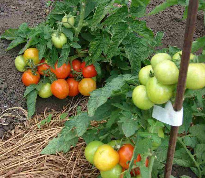 Лучшие сорта низкорослых томатов: Алпатьева 905 А