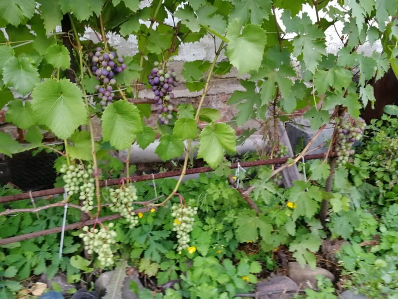 Сорта винограда Соловьёва 58 и Муромец