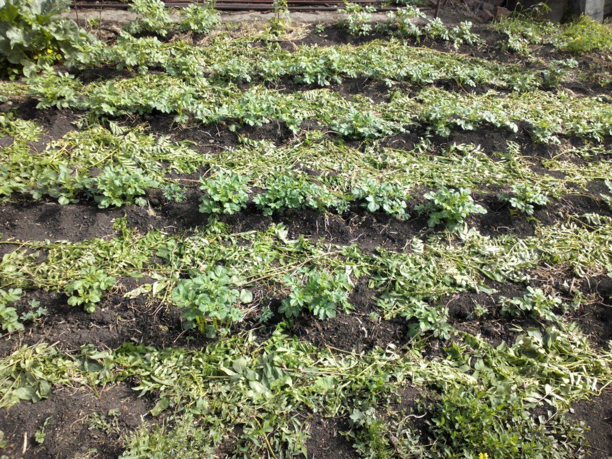 картофель выращивание из семян