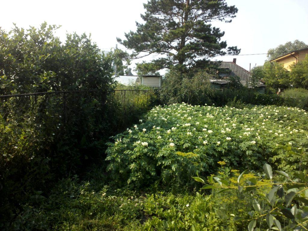 Картофель выращивание из семян 2 репродукции
