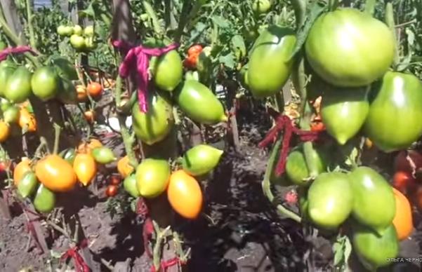 Кусты сорта томатов Золотой Кёнигсберг