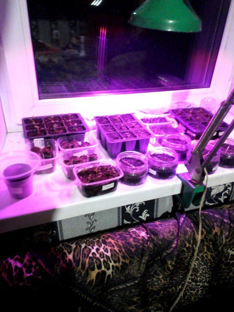 Выращивание земляники дома из семян