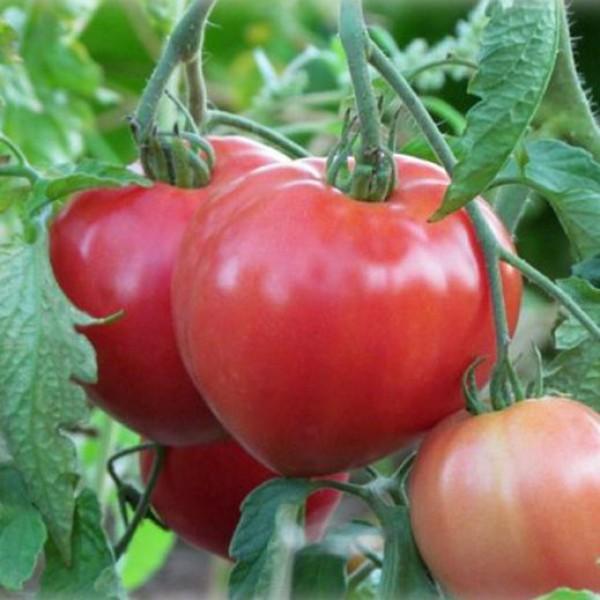 Низкорослый томат Данко