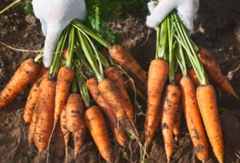 Урожай моркови в открытом грунте