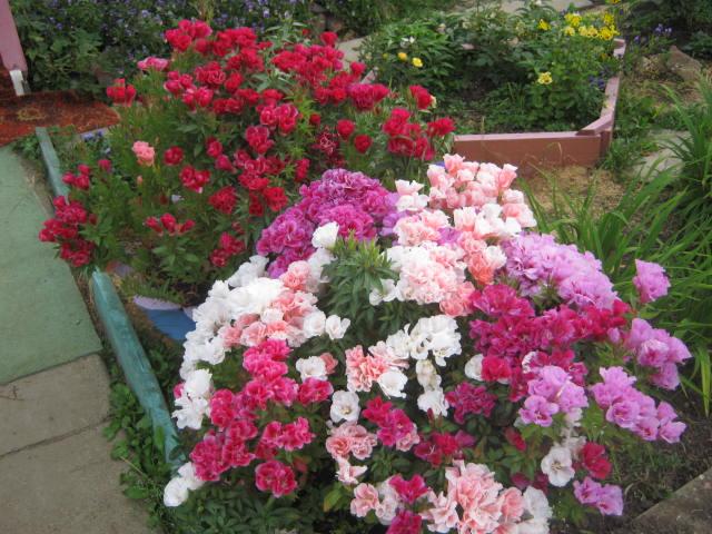 Неприхотливые однолетники, цветут все лето - годеция