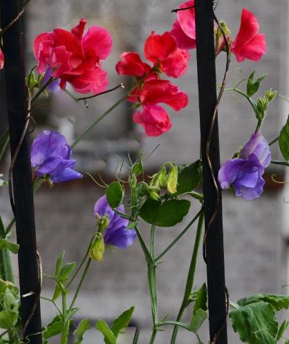 Неприхотливые однолетние цветы, фото душистого горошка