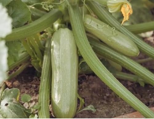 Кабачки кустовые урожайные сорта Искандер
