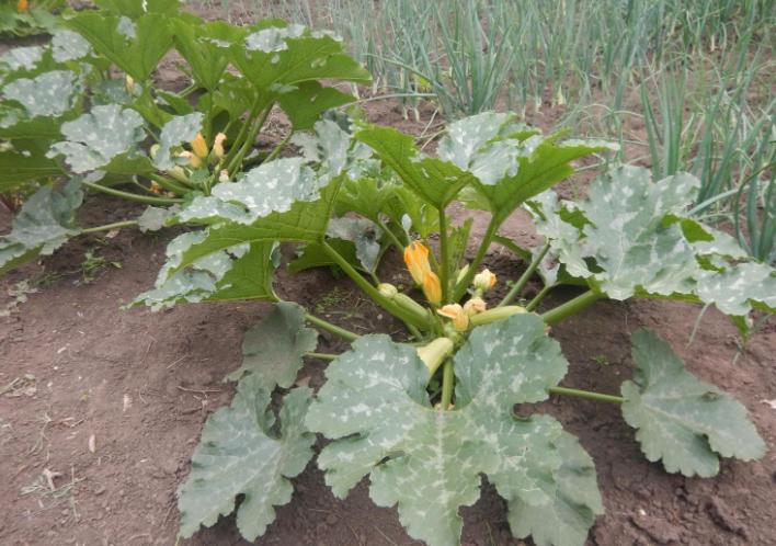 Кабачок кустовой урожайный гибрид Арал