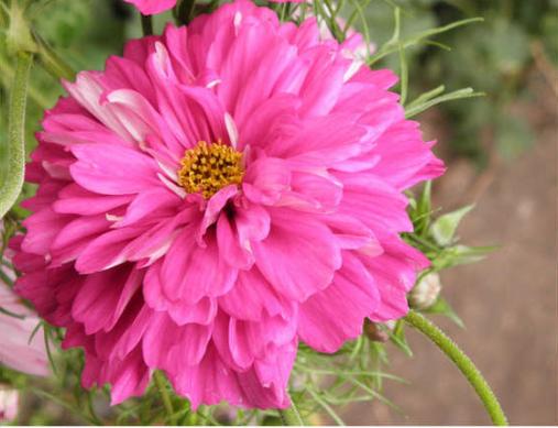 Неприхотливые однолетние цветы, фото космеи
