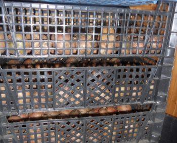 Оборотные пластиковые ящики решетчатые для проращивания картофеля