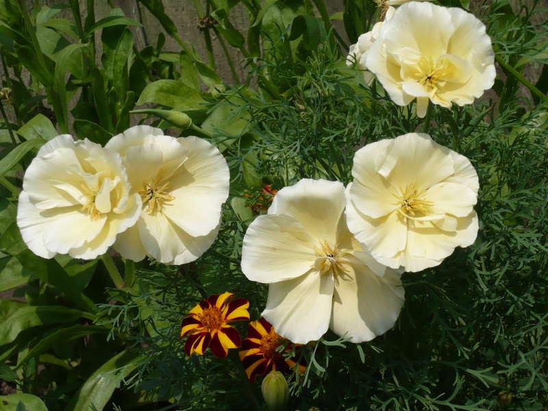 Неприхотливые однолетние цветы - фото эшшольции