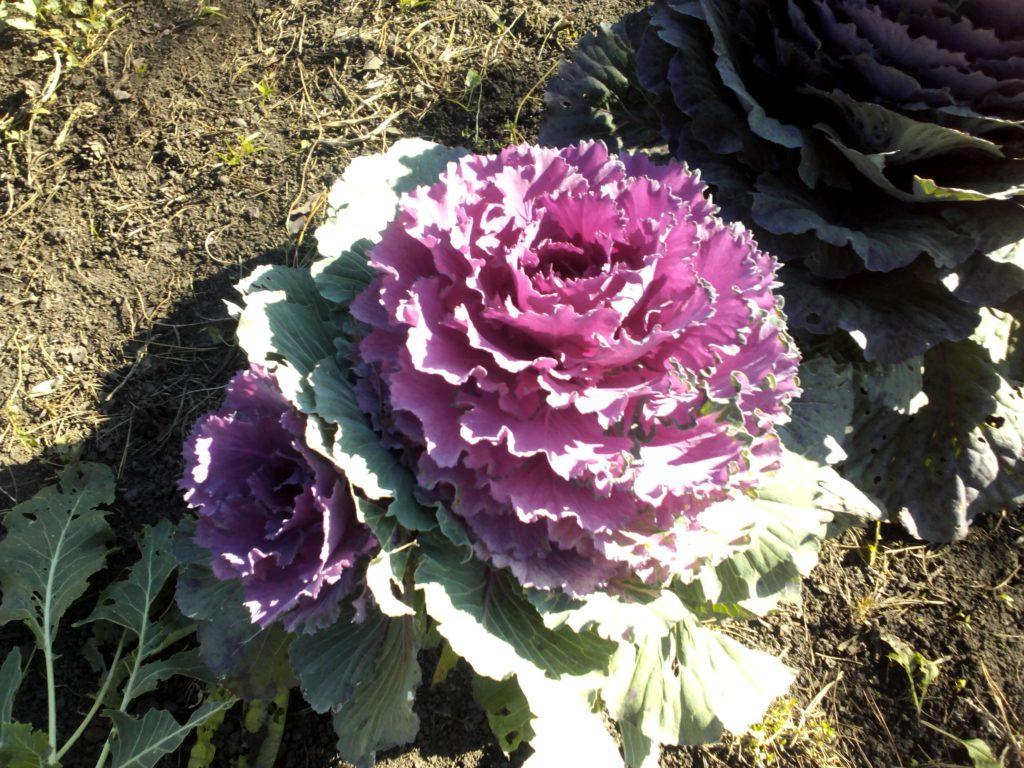 Декоративная капуста Пурпурный голубь, фото