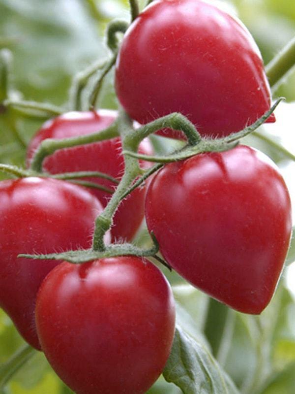 Семена сорта томатов для открытого грунта Сибири - Кемеровец