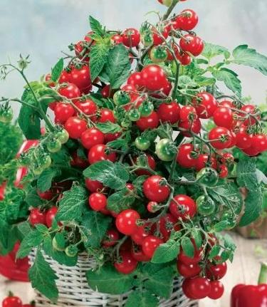 Комнатный томат сорта Клюква в сахаре