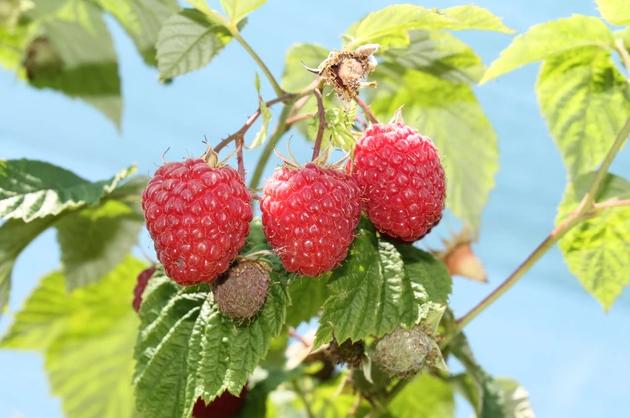 Урожайные сорта малины: Микер