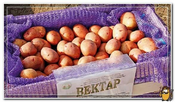 Сорт картофеля Вектор белорусский